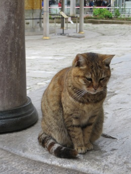 Typical self-effacing Istanbul cat