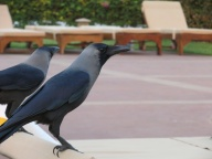 Indian Crows. Opportunistic as ever