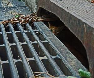 cat in strom drain