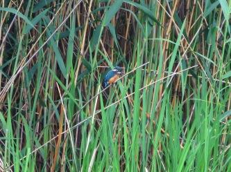 Kingfisher in reeds, Shinbazuno Pond, Ueno Park, Tokyo