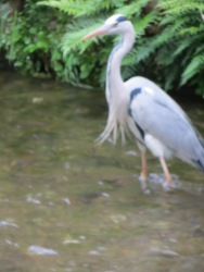Heron in urban stream, Kyoto